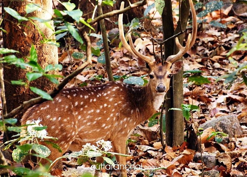 The spotted deer with antlers