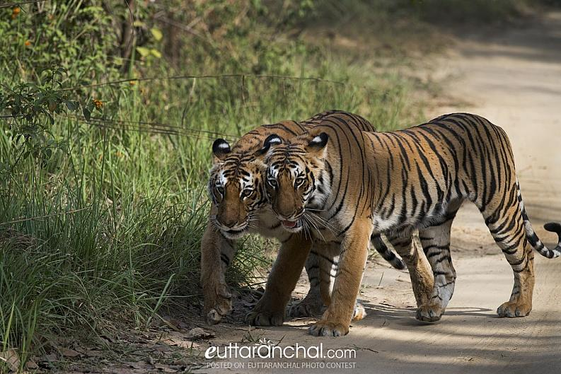 Tigers at Corbett