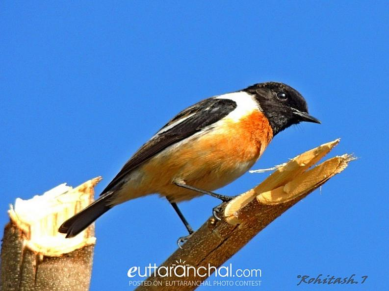The Siberian Stonechat/ Asian Stonechat