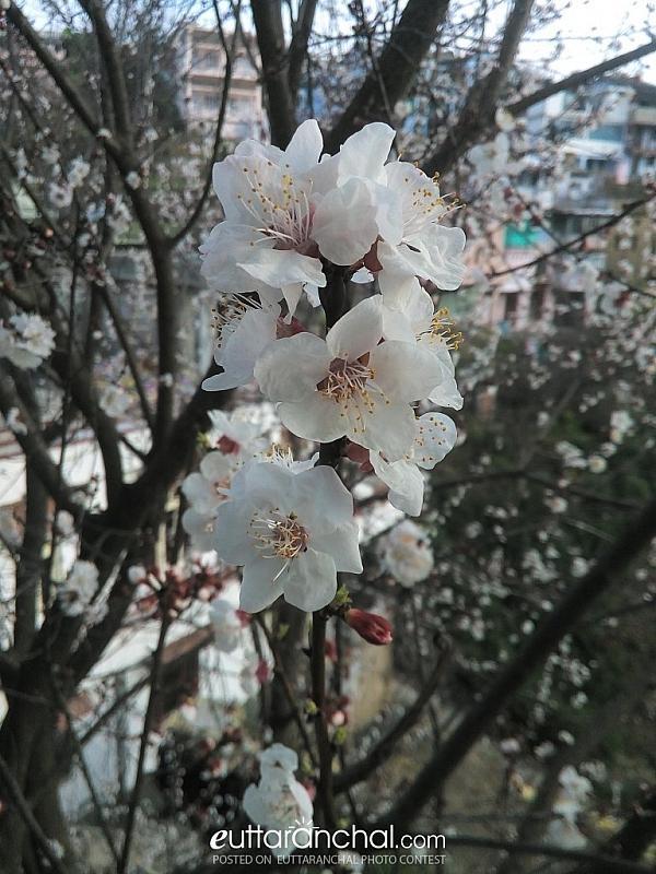 Khubani flower