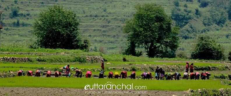 Syara (Rice Cultivation)