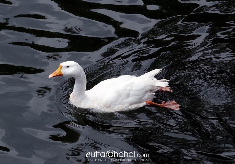 Duck at Bhimtal.