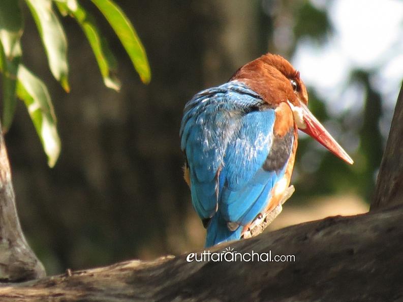 Kingfisher in Corbett Park