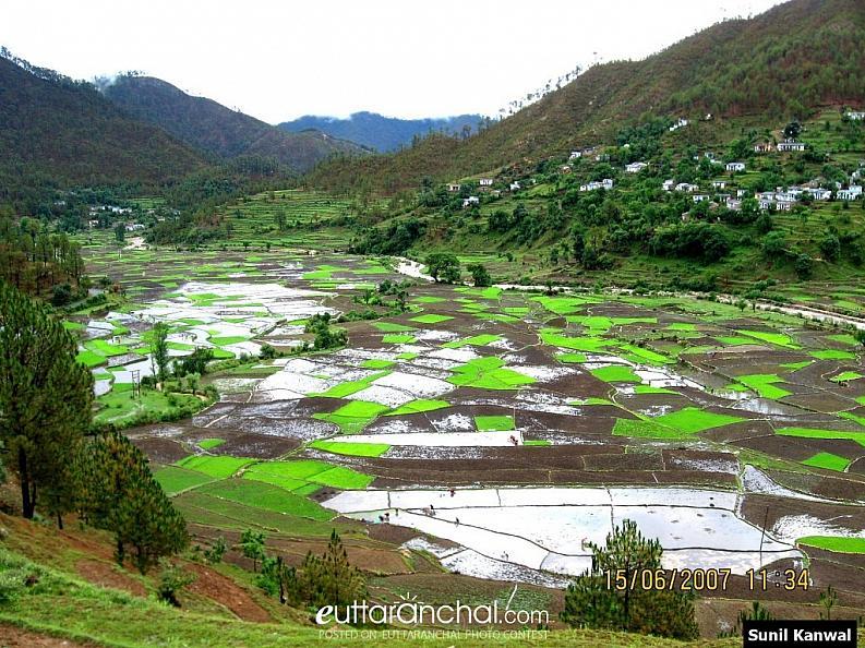 Paddy fields in Kumaon Village
