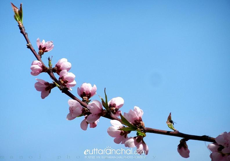 peach stem