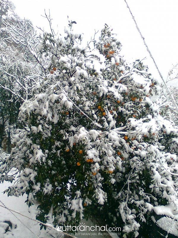 ORANGE (MALTA) TREE