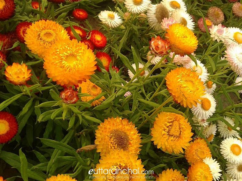 FLOWERS OF UTTRAKHAND! !!