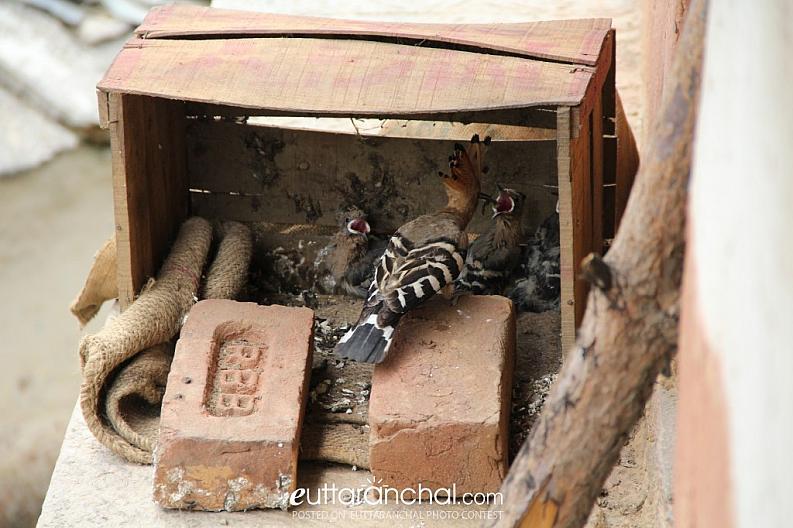 Garhwali Woodpecker & family