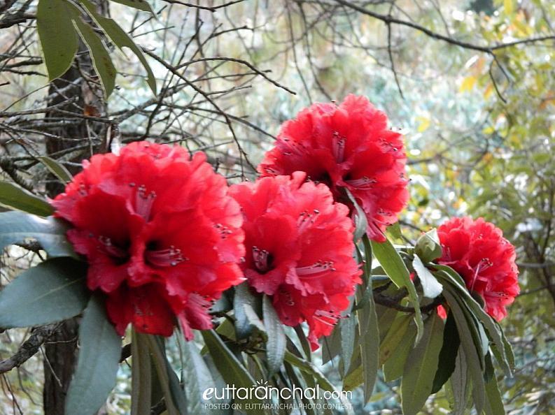 Buransh (Rhododendrons)