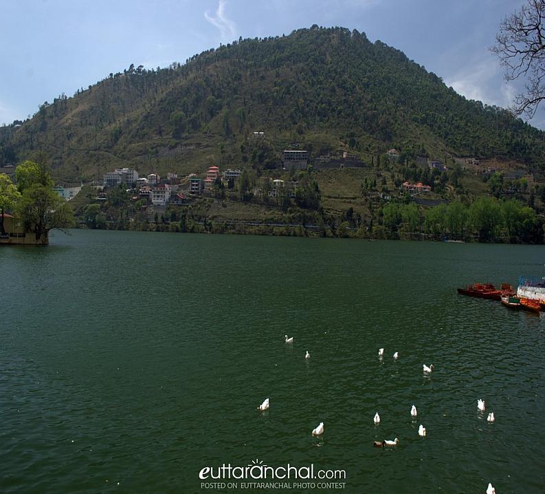 Swans in Bhimtal