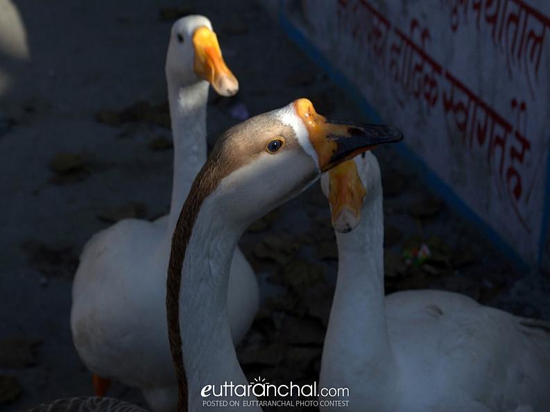 Swans in naukutchiataal