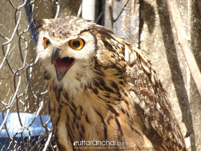 Owl in angry mode