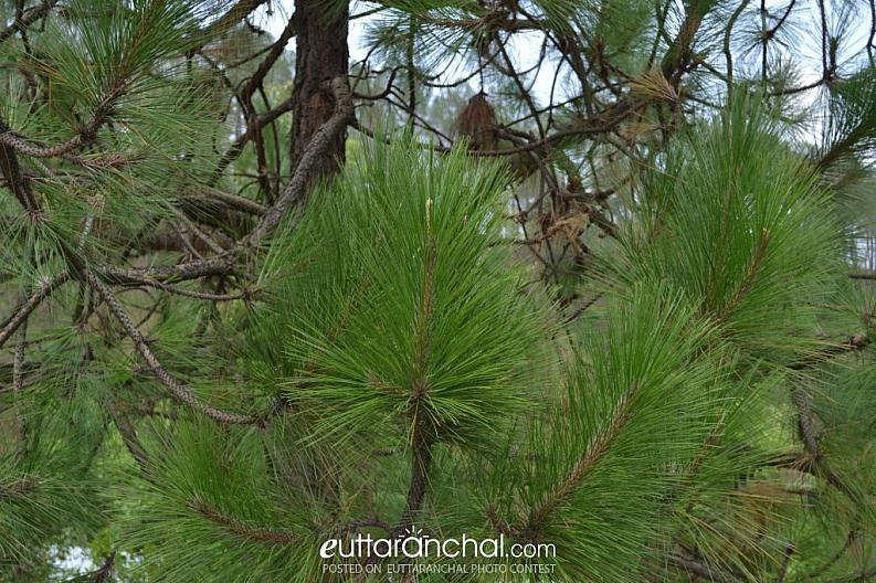 Pine the symbol of hills