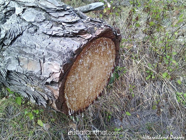 Pinetree Uncut