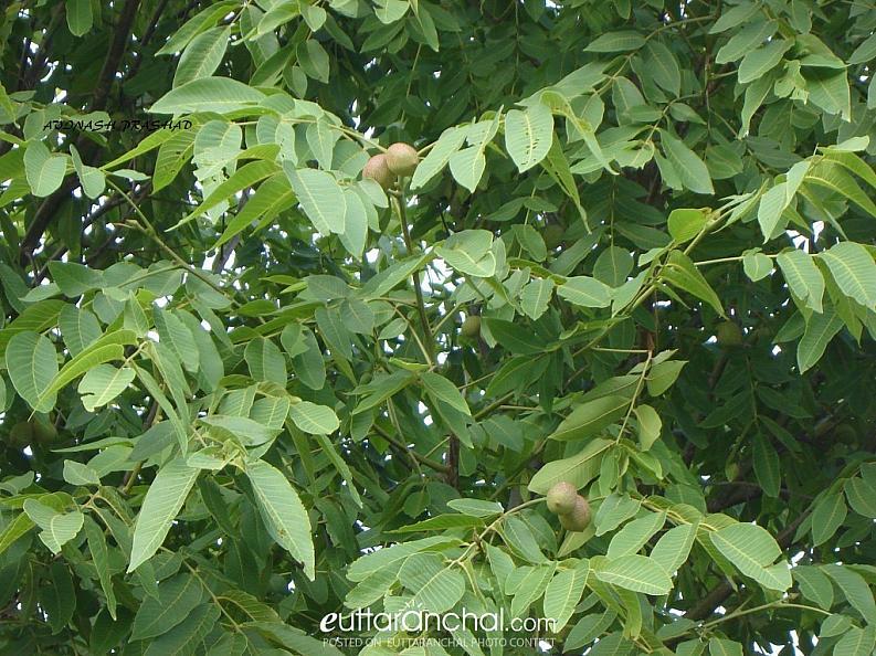 AKHROT TREE