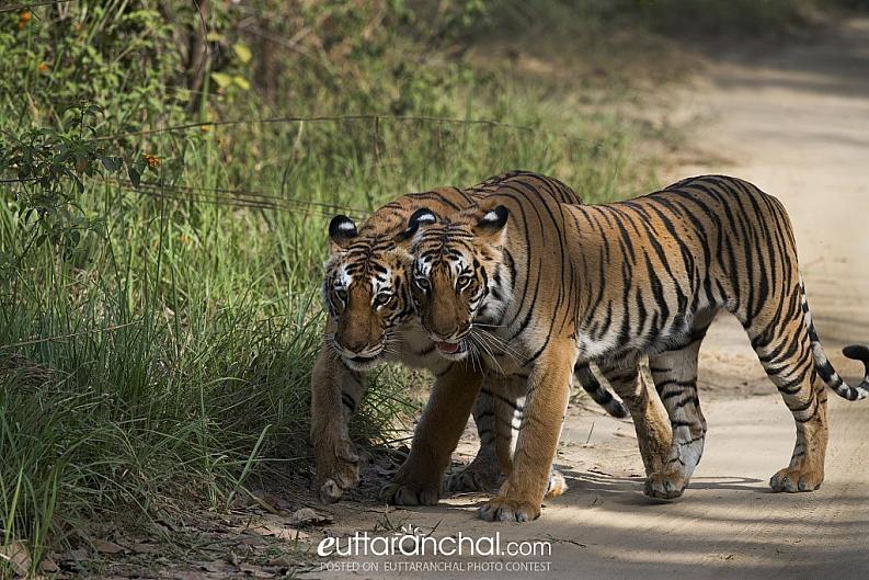 Tigers at Corbett