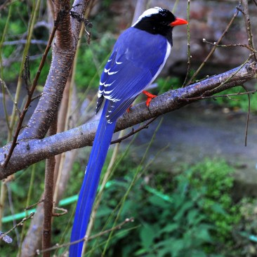The red-billed blue magpie