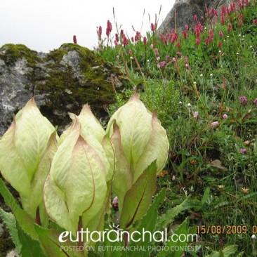 Brahma Kamal – state flower of Uttarakhand