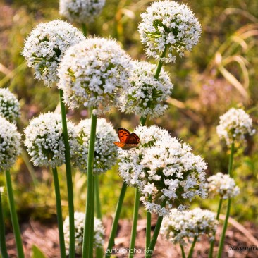 Butterfly with Onion plant