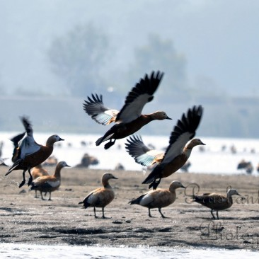 Migratory Bird Ruddy Shelduck at asan Barrage, one of the famous place for bird watching