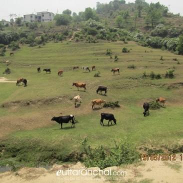 Grassland near Champawat