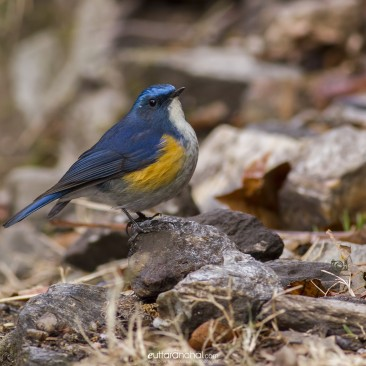 The Beautiful Bluetail