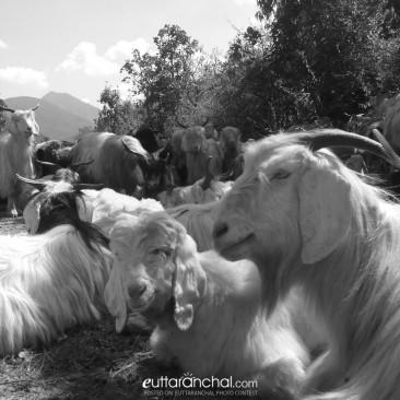 Uttarakhand goat
