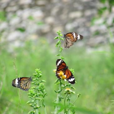 Our Uttarakhand : Heaven for Butterflies