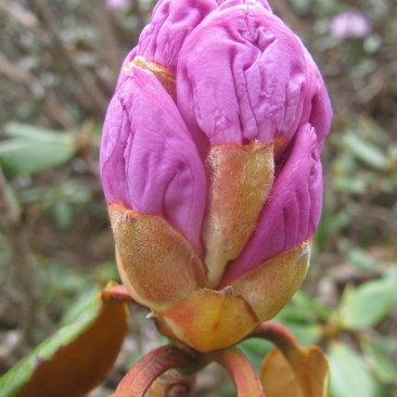 Bud of rhododendron