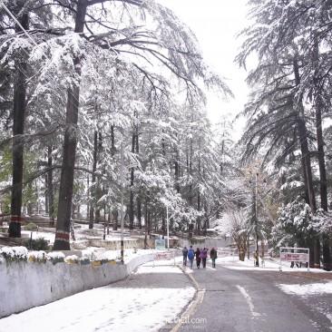 Snowbound Pine Trees