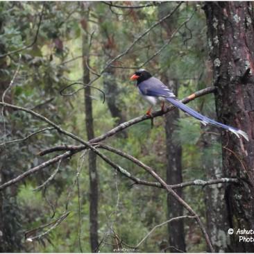 Long Tail Bird (Lam Puchyaa)