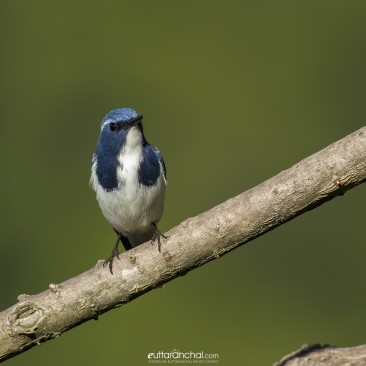 The UltraBeautiful, Ultramarine Flycatcher