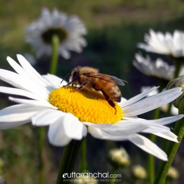 Dazzling daisy ..busy bee