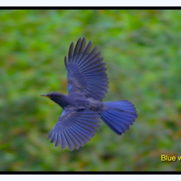 Blue Whistling Thrush flying through the forest