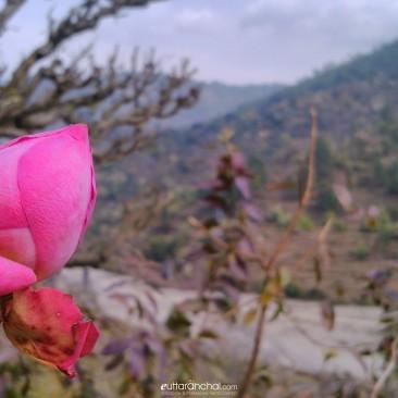rose……!!!