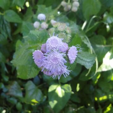 निरफुली घास का फूल