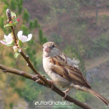 local sparrow of uttrakhand