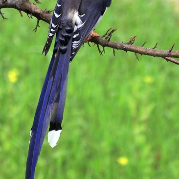 Red-billed Blue Magpie . locally called Lampoochyada (लमपूछ्यडया)