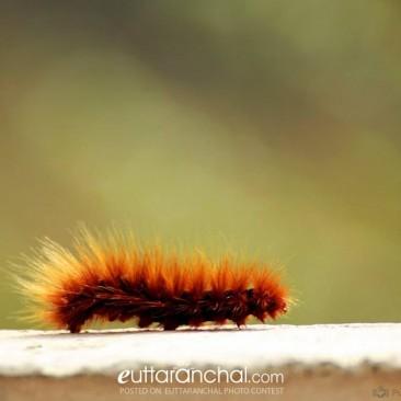 Brown Hairy Caterpillar ( Jhus Keeda )