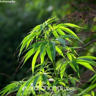 Bhang Plant