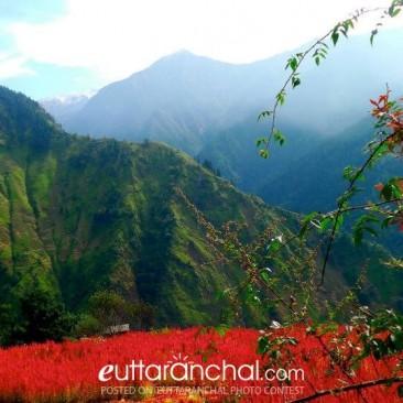Harvesting amaranth near Fitari