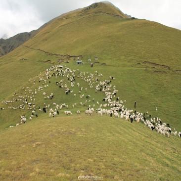 Sheep grazing in a bugyal