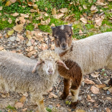 Couple Sheep